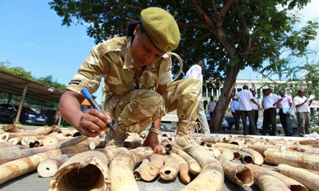 A Kenyan wildlife ranger inscribes markings on the 775 elephant tusks, seized in Mombasa