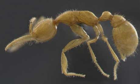 Martialis heureka: living ancestor of modern ants