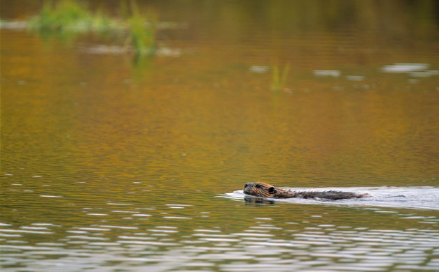 Beavers Are Released Back Into The Wild