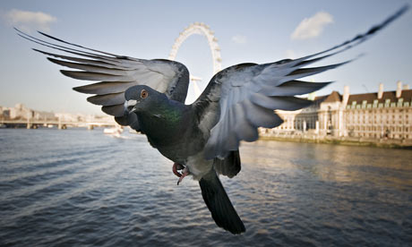 Pigeon in london