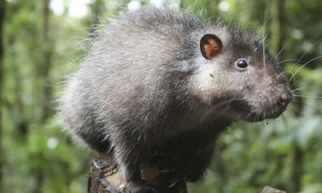 Bosavi Woolly Rat