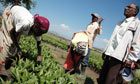 Workers at an 11,000ha farm in Bako, Ethiopia, run by the Indian company Karuturi