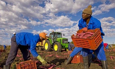 africa farming sweet potatoes
