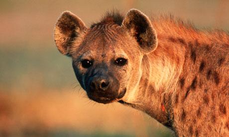 Weekly Hyena