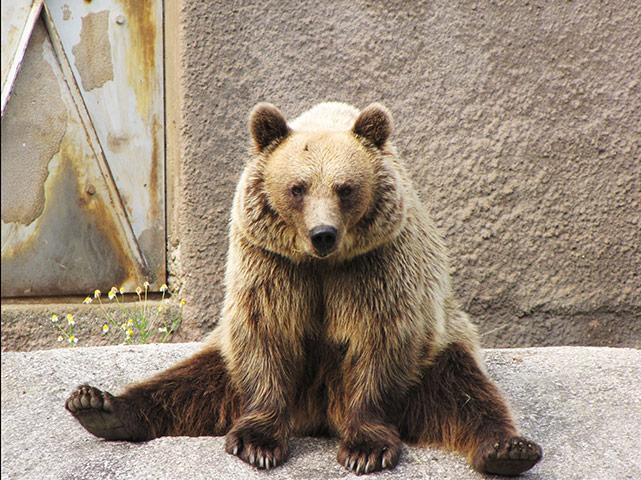 Brown bear Yoga: Finishing female Brown bear doing her early morning Yoga