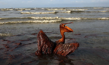 A brown pelican coated in heavy oil wallows in the Louisiana surf, June 2010.