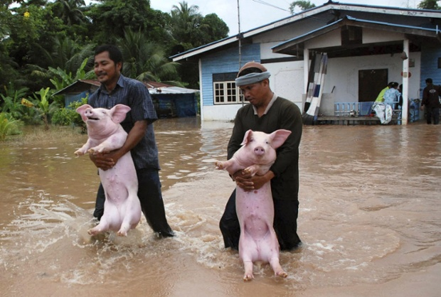 On the domesticated animal front, two Thai farmers carry their pigs from their flooded farm in Phitsanulok province, northern Thailand.