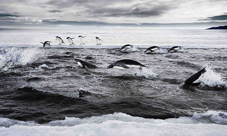 Adelie penguins hunting in the Ross Sea, Antarctica