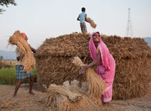 People work on a rice field in Bihar