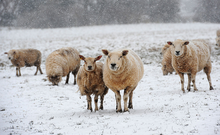 Uk snow: Sheep stand in a snow covered field near Follifoot, Harrogate