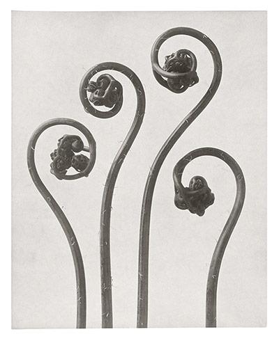Karl Blossfeldt: Northern Maidenhair fern - young rolled up fronds