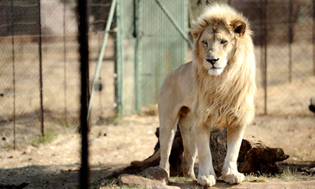 lion bred in captivity in south africa