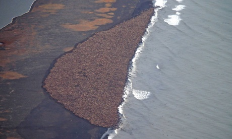 The huge gathering of walrus near Point Lay, Alaska.