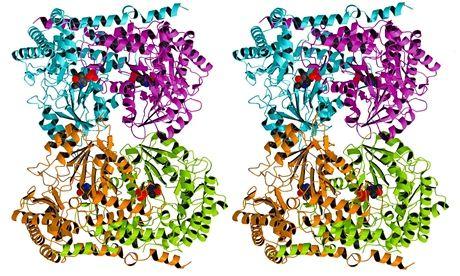 Stereoscopic image of an enzyme (serene hydroxymethyltransferase)
