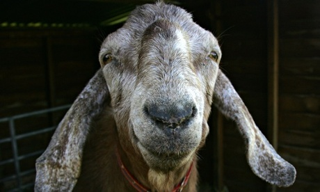 Goat apparently smiling