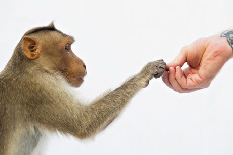 Monkey hand taking peanuts from a human hand