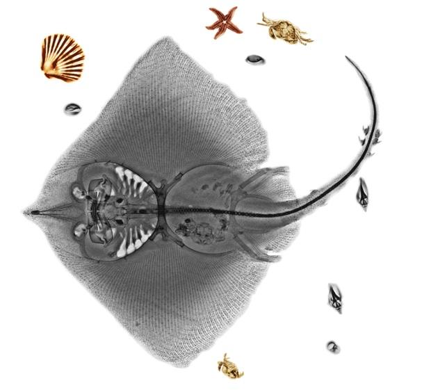 Ray fish (order Batoidei), coloured X-ray.
