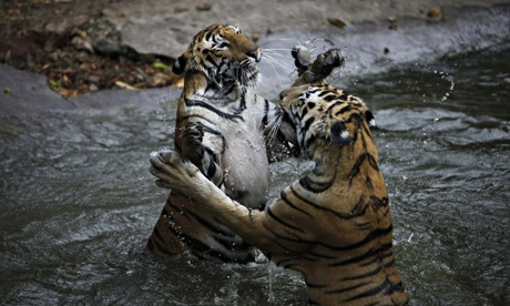 Bengal tigers play in water