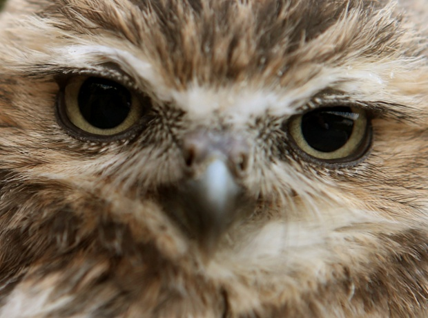 A burrowing owl, one of the newest members of Blair Drummond safari park in Stirling, Scotland
