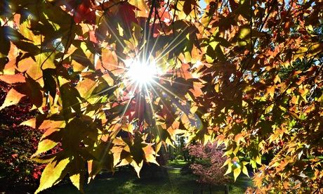 The autumn sun shines through Japanese maple leaves