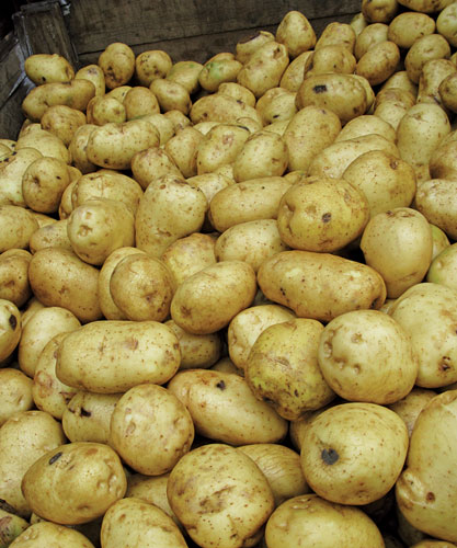 Potatoes rejected for cosmetic reasons at a potato farm in Kent that supplies Tesco