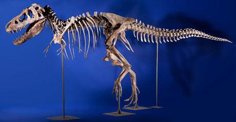 Seized tarbosaurus skeleton