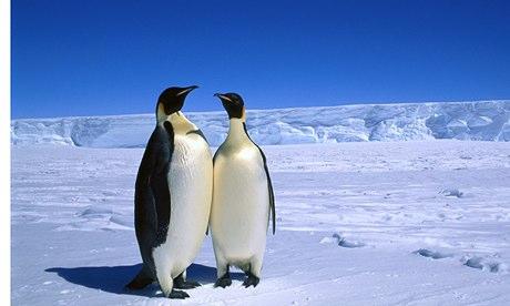 Emperor Penguin in Australian Antarctic Territory