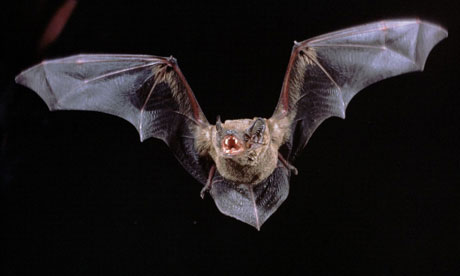 A noctule bat in flight. Photograph: Dietmar Nill/Nature Picture Library/Rex Features
