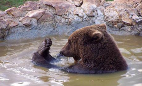 A Kuterevo bear takes a dip