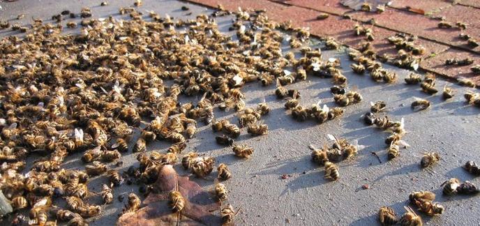 i_abeilles-mortes.jpg