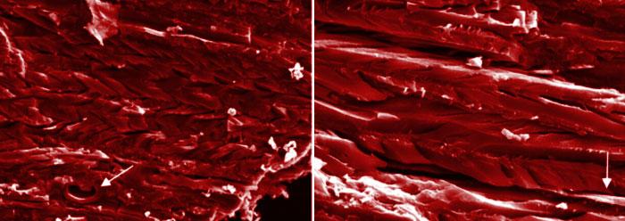 Fresh salamander tissue found in fossil rock