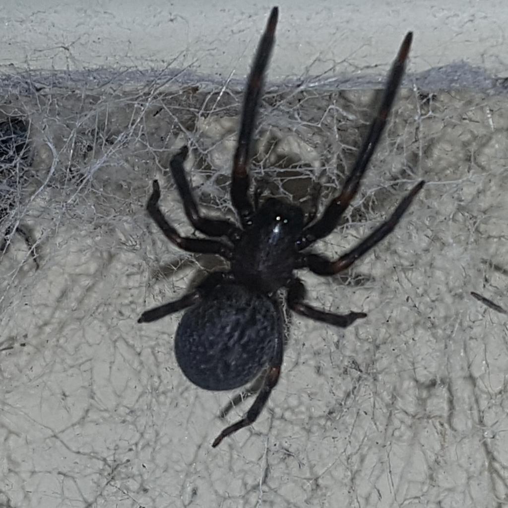 Black House Spider Badumna Insignis Inaturalist