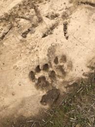 Dog or wildcat? Near turkey tracks