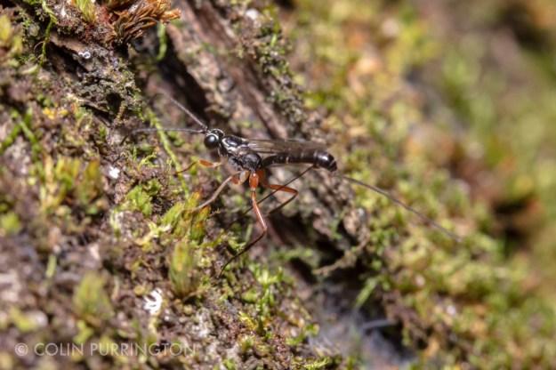 Ovipositing wasp in Tribe Ephialtini.