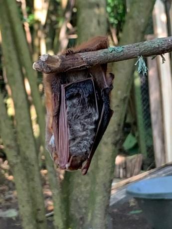 Murciélago Cola Peluda de Blossevil Lasiurus blossevillii