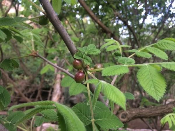 Copales Y Cuajiotes (Género Bursera) · NaturaLista