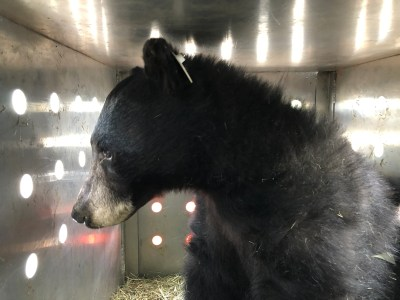 Black bear released into the wild after recovering from Colorado wildfire injuries