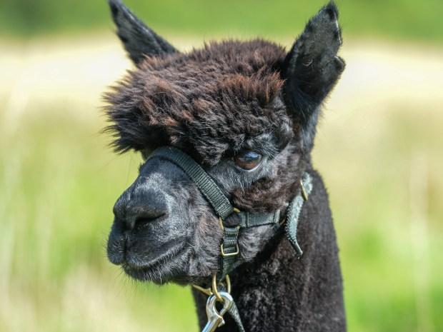 Geronimo the alpaca 'did not have TB, initial results show' #Geronimothealpaca ... - MANNY CONOR 3 - 2021