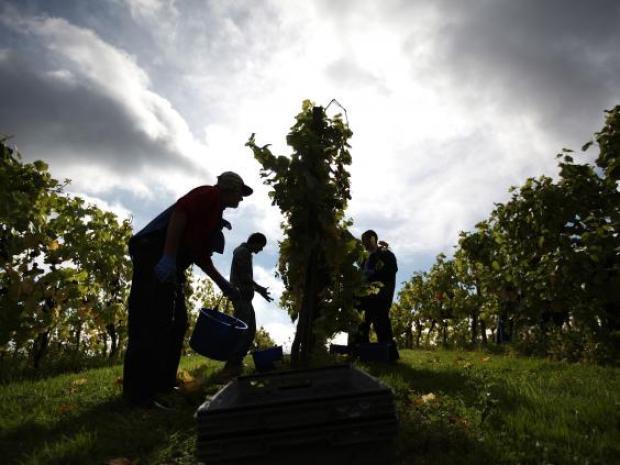 59-pinot-noir-grapes-Getty.jpg