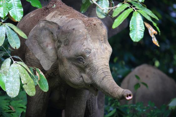 borneo-pygmy-elephant-elephas-maximus-borneensis.jpeg