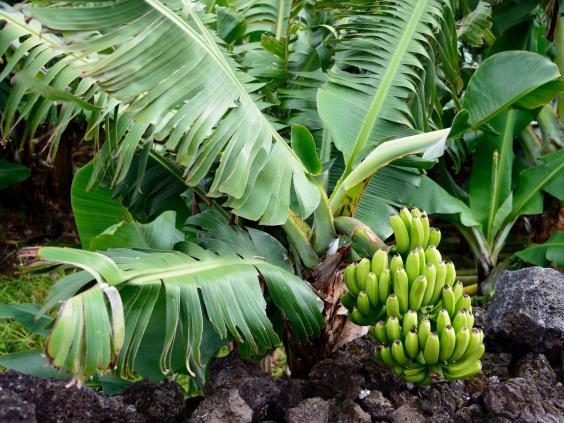 banana-plant.jpg