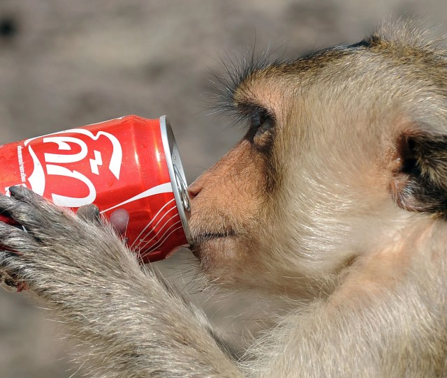 A Monkey Has A Drink From A Can At An Ancient Temple In Lopburi Province