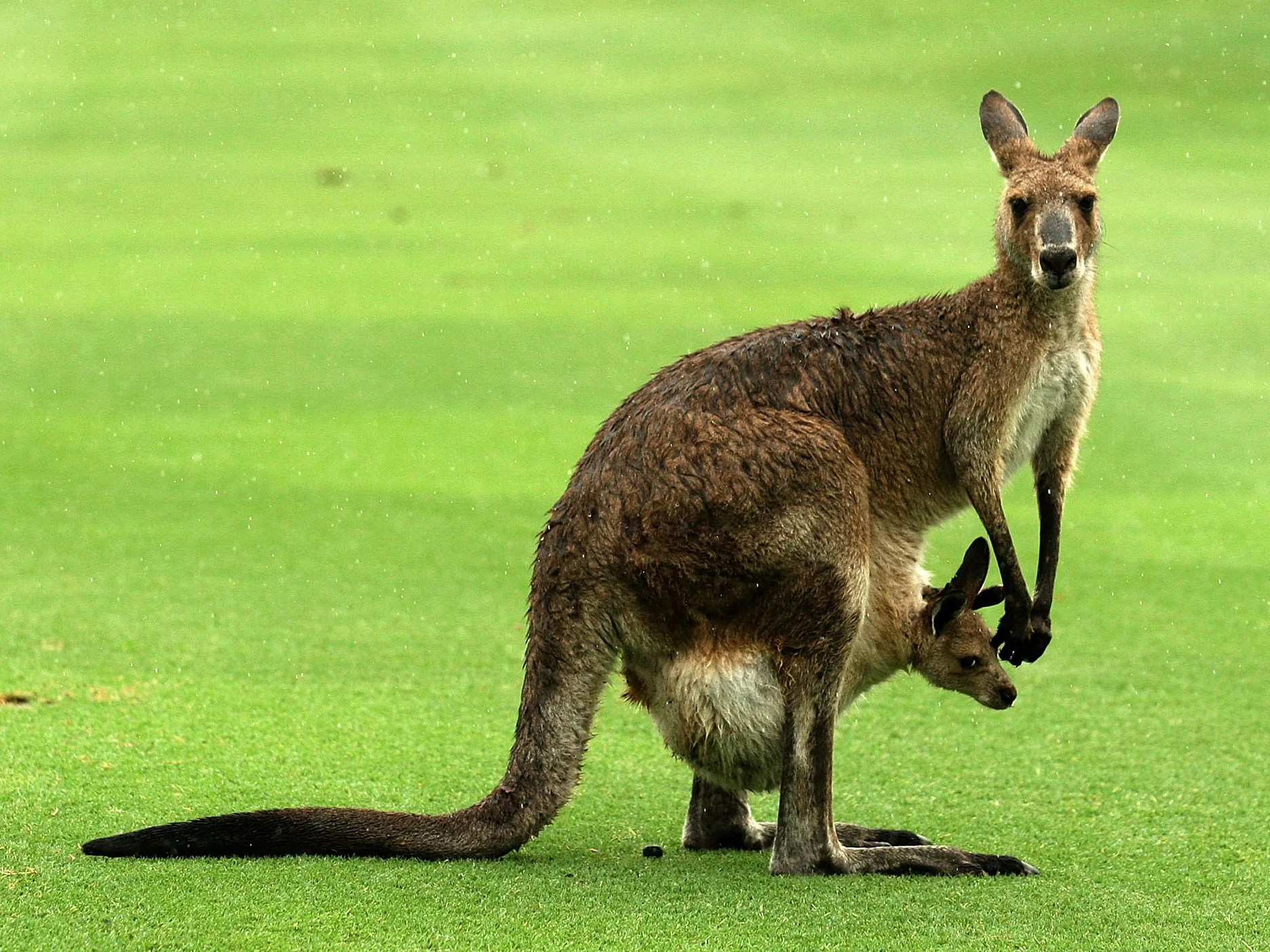 Kangaroo Pics