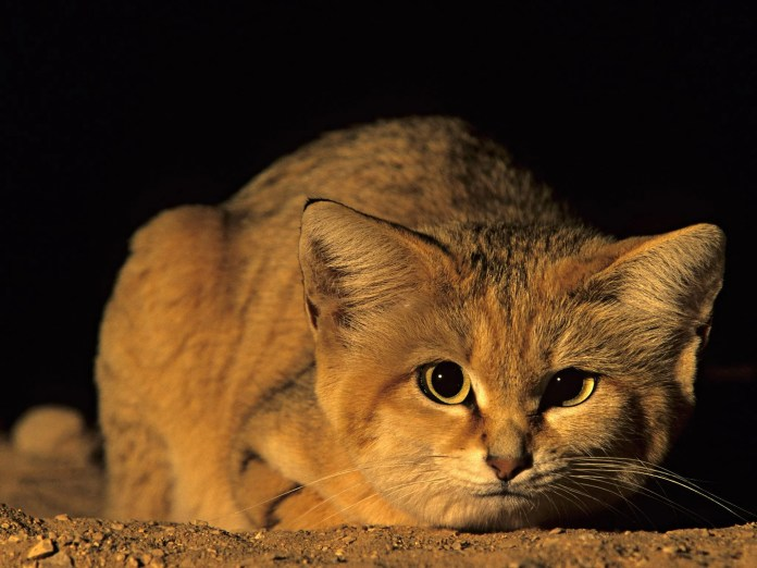 Rare Arabian sand cat spotted by scientists after ten year search | The  Independent | The Independent