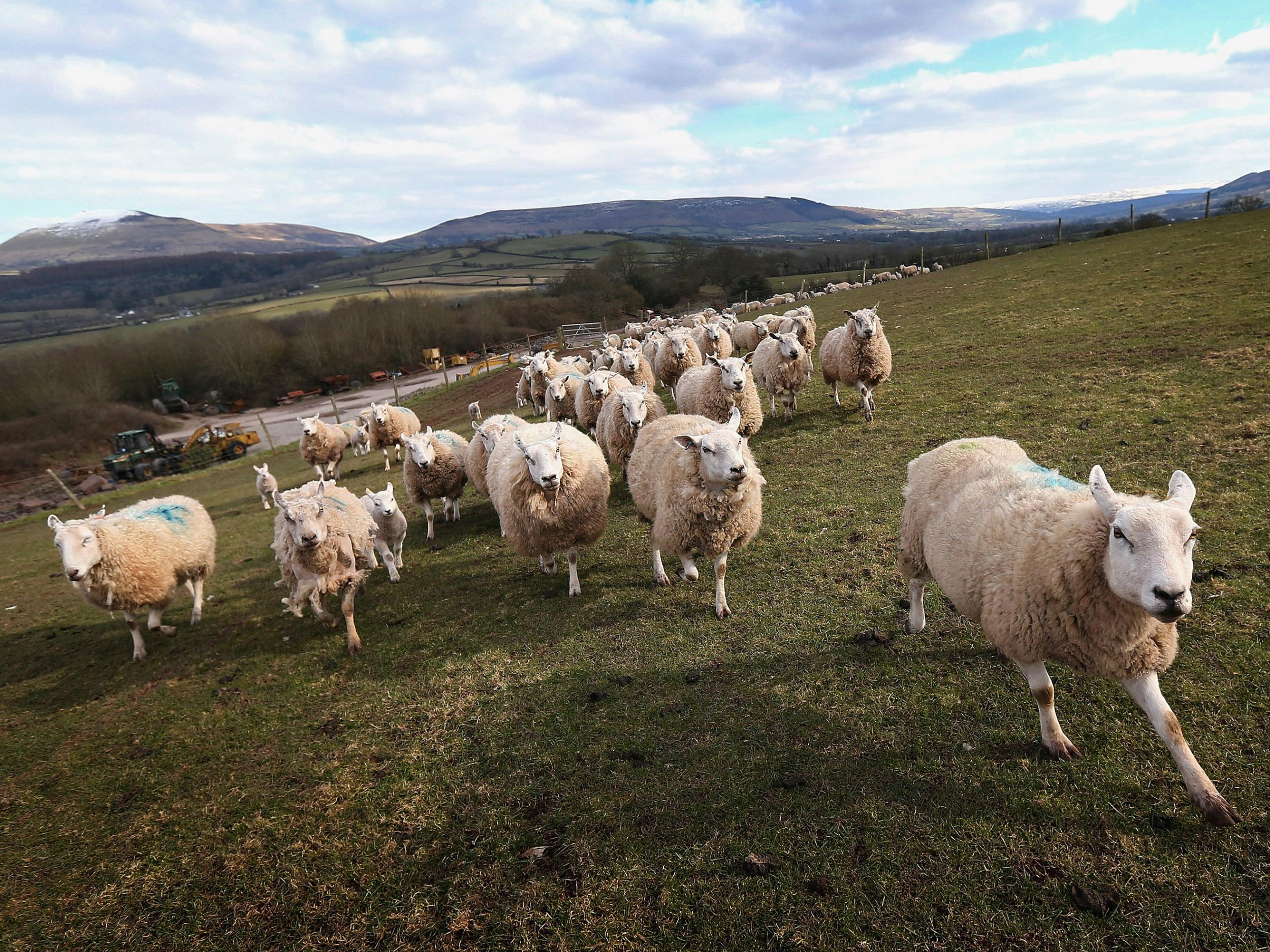 Sheep Now Outnumber People Three To One In Wales