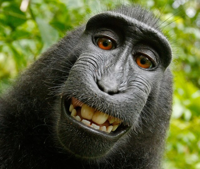 Monkey Selfie Case Photographer Wins Two Year Legal Fight Against Peta Over The Image Copyright