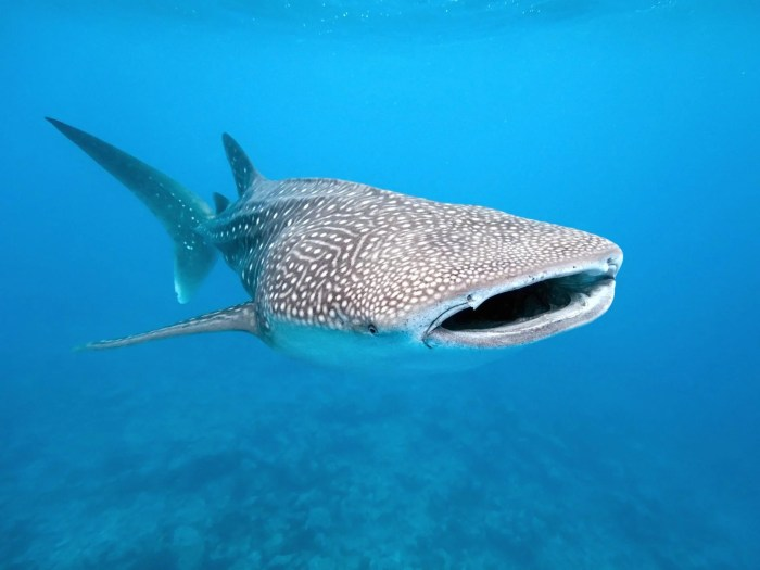 Whale sharks are ingesting hundreds of pieces of plastic every day, according to new research