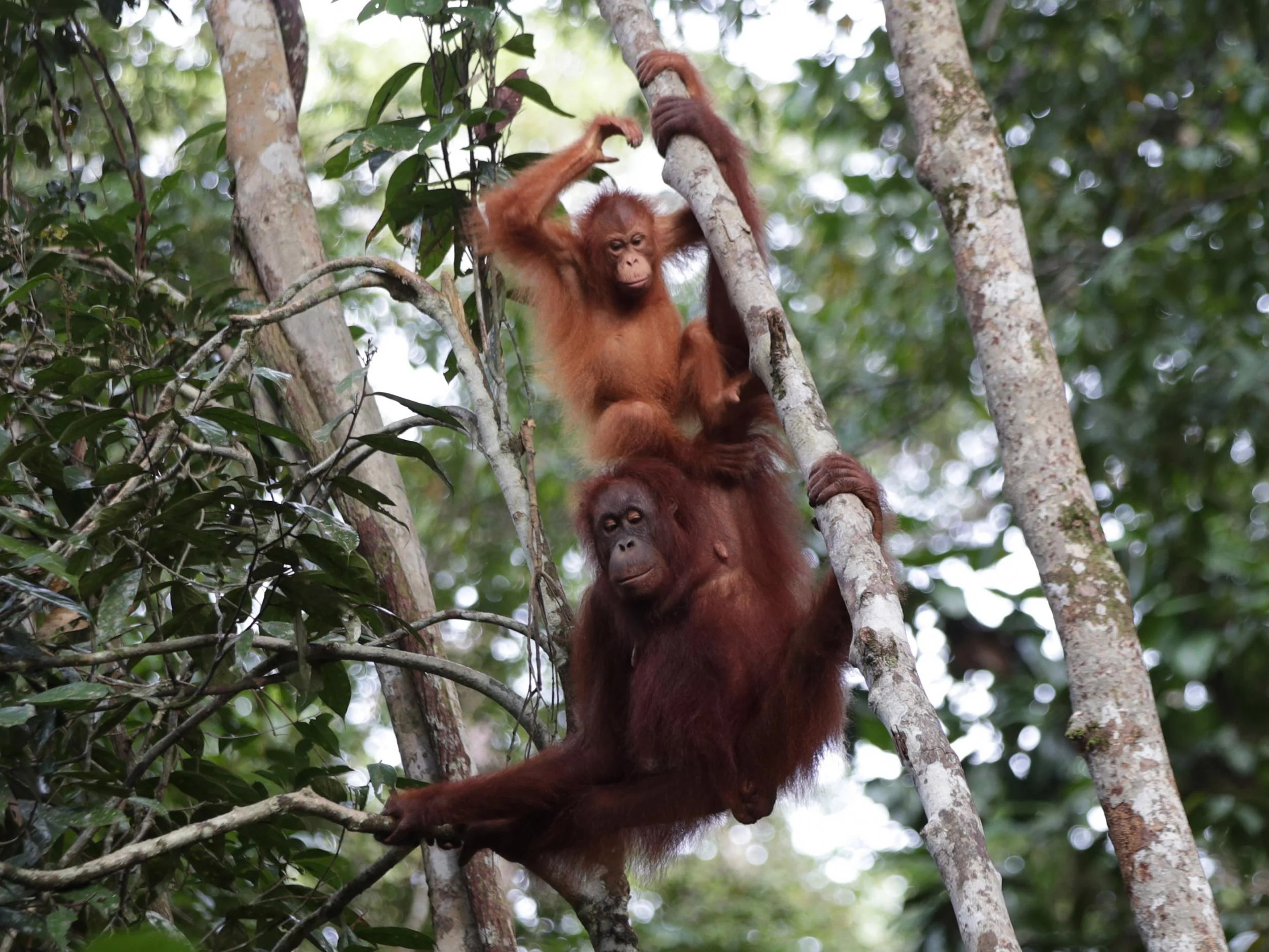 Borneo S Last Remaining Orangutans Threatened By Illegal Logging Despite Government Protection