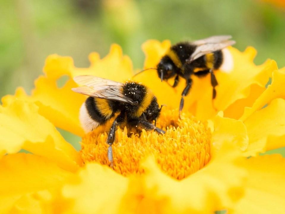 bumblebees-flowers.jpg