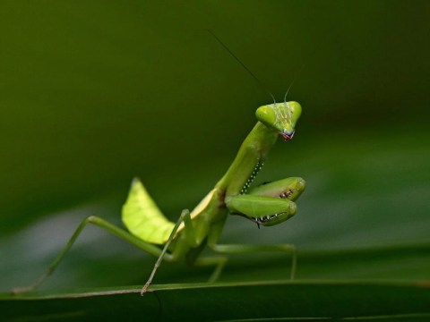 Praying mantises can turn their heads 180 degrees to scan surroundings